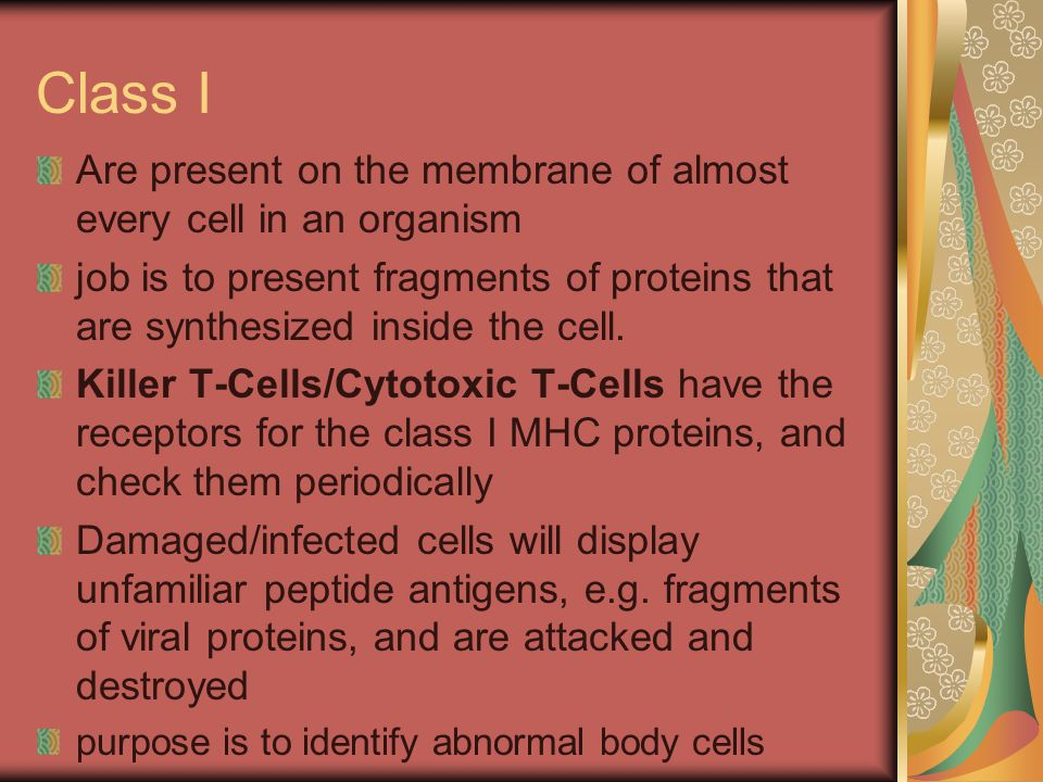 Class II Class II MHC proteins are found only on immune cells ( found only on B lymphocytes, macrophages, and other cells that present antigens to T cells ) These cells present peptide antigens derived from foreign digested particles (eg.