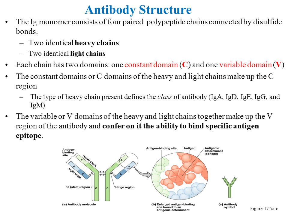 Antibody Structure Figure 17.5a-c The Ig monomer consists of four paired polypeptide chains connected by disulfide bonds. –Two identical heavy chains