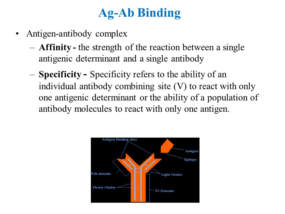 Ag-Ab Binding Antigen-antibody complex –Affinity - the strength of the reaction between a single antigenic determinant and a single antibody –Specific