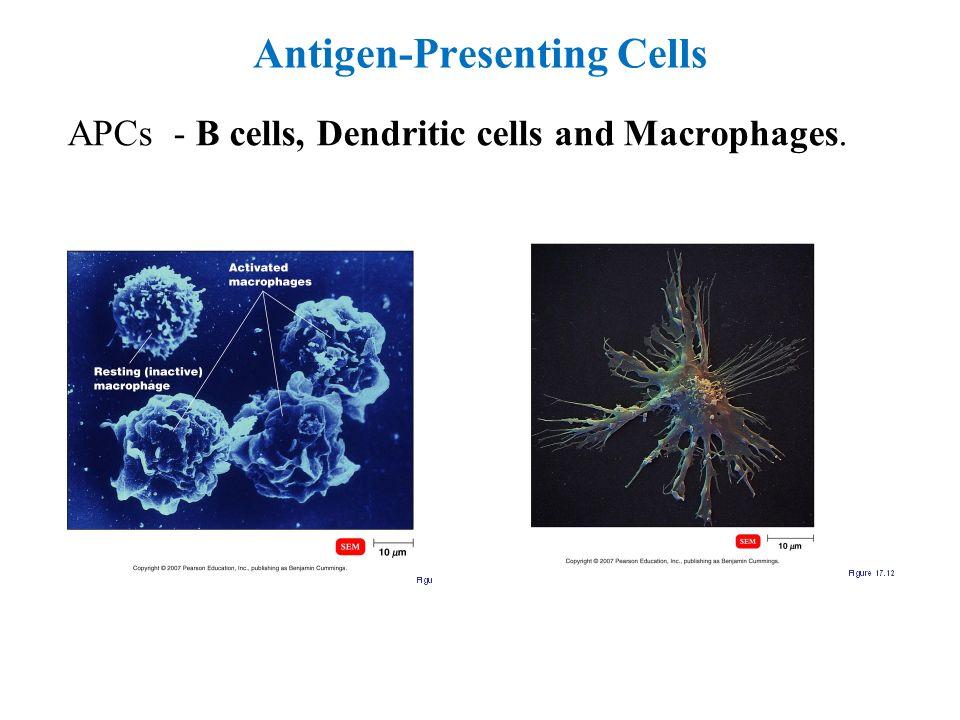 Antigen-Presenting Cells APCs - B cells, Dendritic cells and Macrophages.