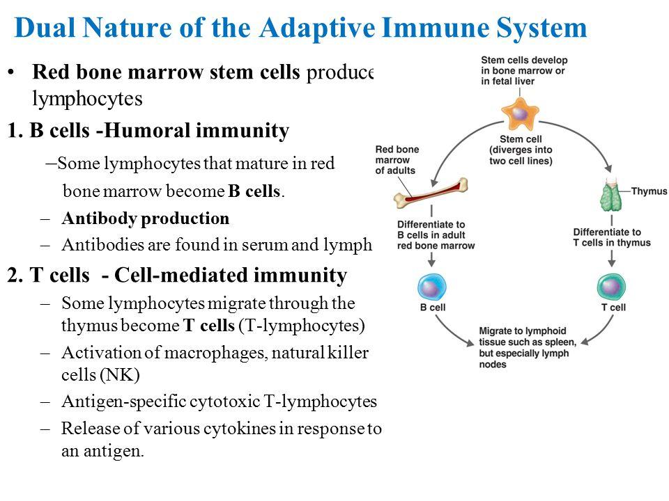 Dual Nature of the Adaptive Immune System Red bone marrow stem cells produce lymphocytes 1. B cells -Humoral immunity – Some lymphocytes that mature i