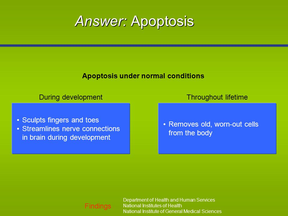 Findings Department of Health and Human Services National Institutes of Health National Institute of General Medical Sciences Answer: Apoptosis Apopto