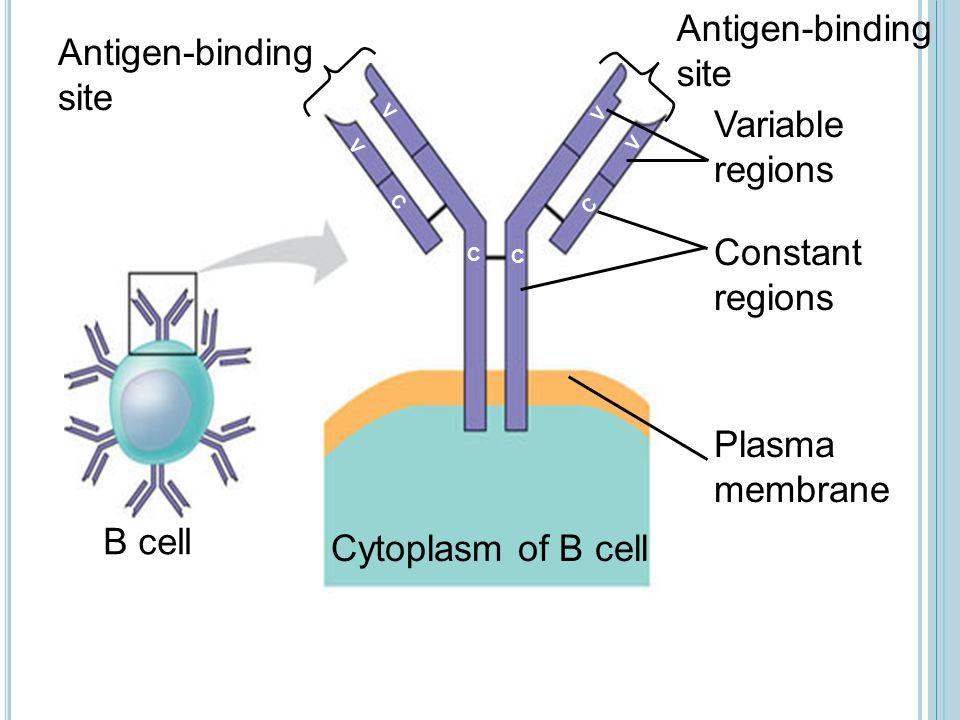 Antigen-binding site Antigen-binding site Cytoplasm of B cell V Variable regions Constant regions Plasma membrane B cell V V C C C C V