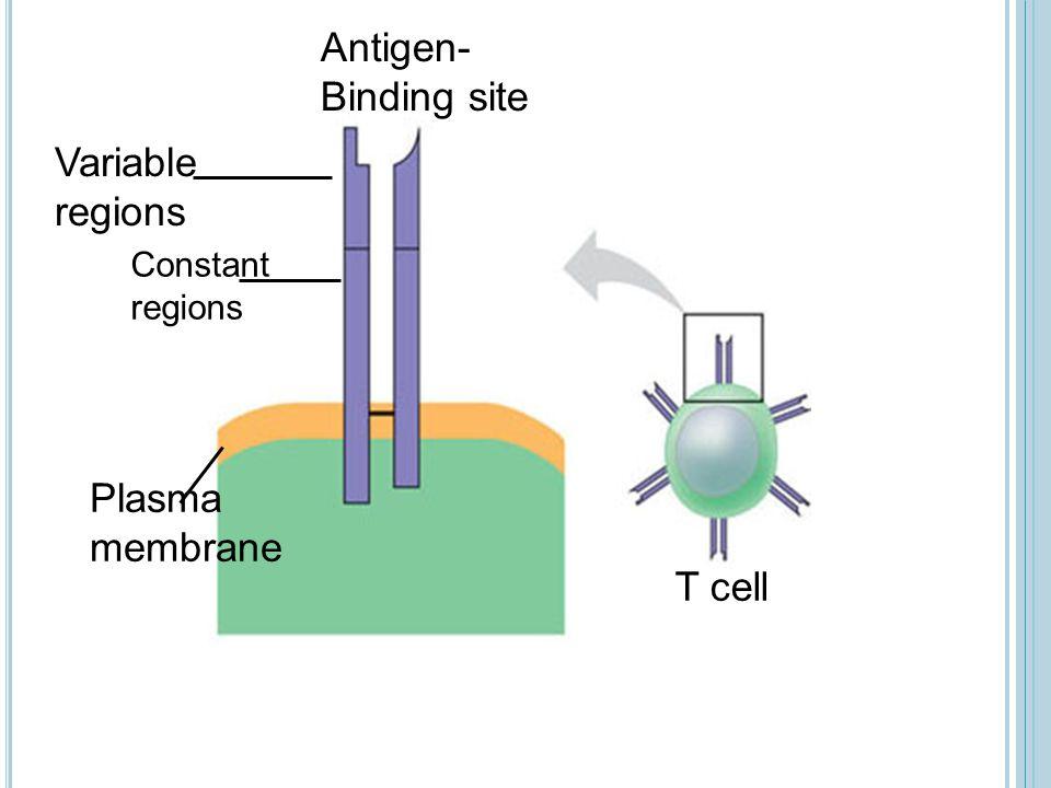 Antigen- Binding site T cell Variable regions Constant regions Plasma membrane