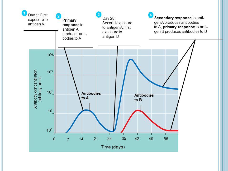 Antibody concentration (arbitrary units) 10 4 10 3 10 2 10 1 10 0 0 7 14 21 28 35 424956 Time (days) Antibodies to A Antibodies to B Primary response