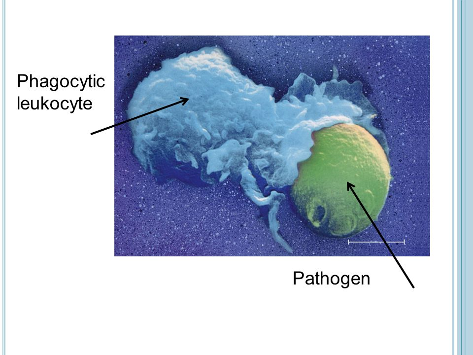Microbes MACROPHAGE Vacuole Lysosome containing enzymes Bacteria are surrounded Bacteria are engulfed Vacuole forms around bacteria The vacuole fuses with a lysosome Enzymes break down the bacteria Bacteria fragments exit the cell