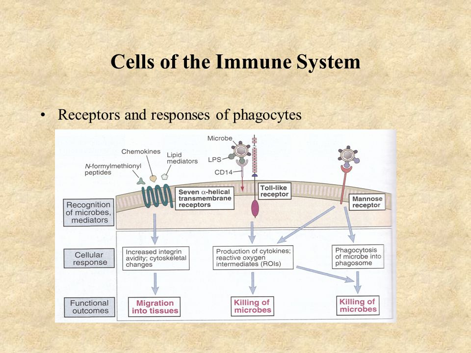 Cells of the Immune System Receptors and responses of phagocytes