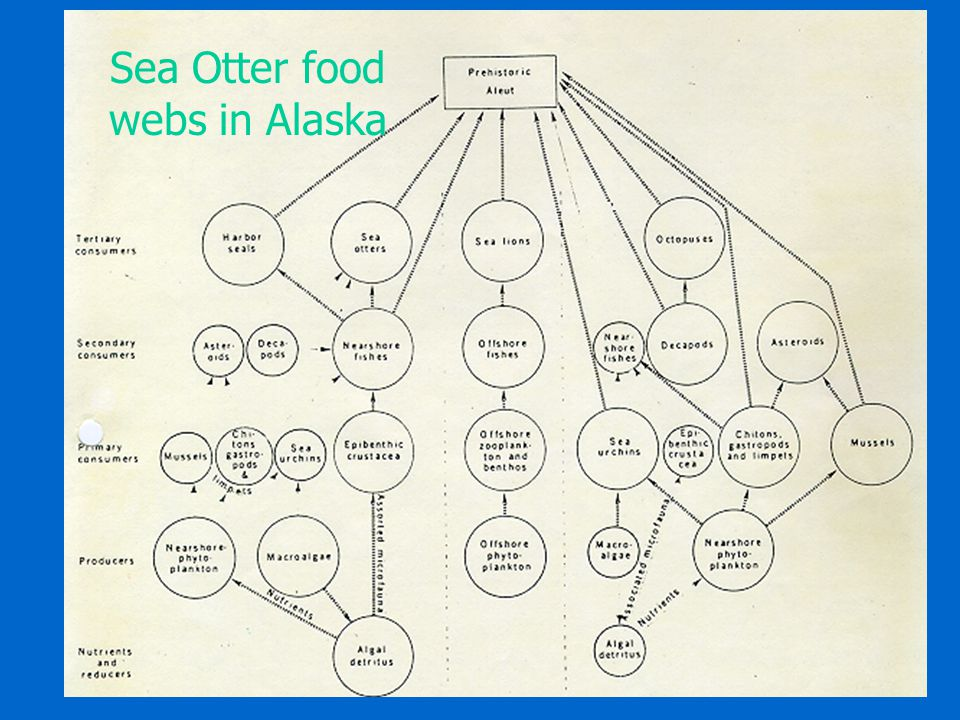 Sea Otter food webs in Alaska