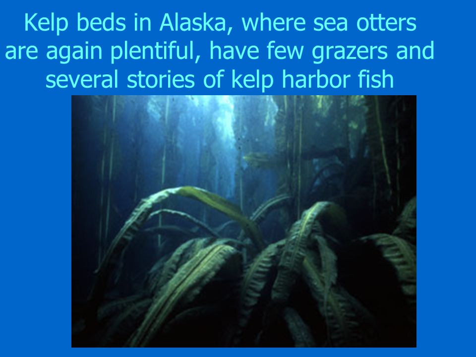 Kelp beds in Alaska, where sea otters are again plentiful, have few grazers and several stories of kelp harbor fish