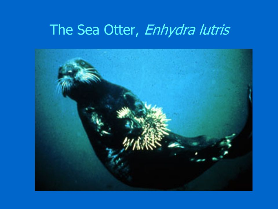 The Sea Otter, Enhydra lutris