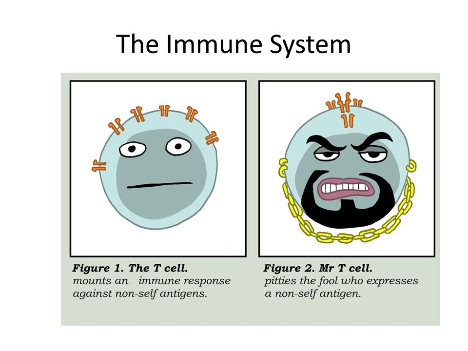 Innate Immune Components Natural Killer cells – Destroy malformed cells such as cancer cells and cells infected with certain viruses Phagocytes – A number of types of cells perform phagocytosis, which means cell eating – The two major phagocytes are neutrophils and macrophages Complement – Blood proteins that are toxic to bacteria