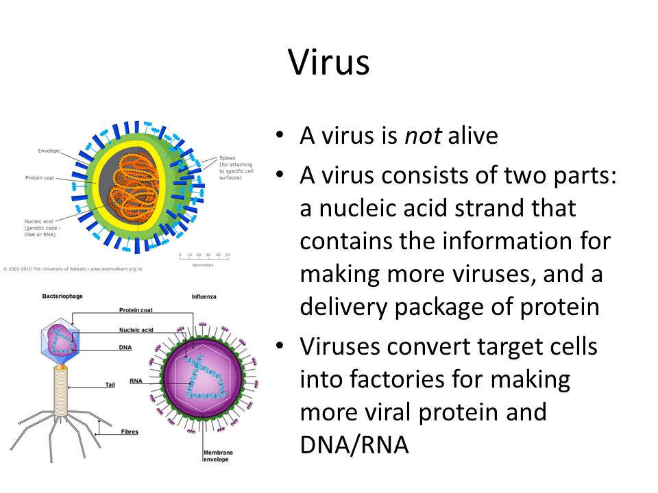 Virus A virus is not alive A virus consists of two parts: a nucleic acid strand that contains the information for making more viruses, and a delivery package of protein Viruses convert target cells into factories for making more viral protein and DNA/RNA