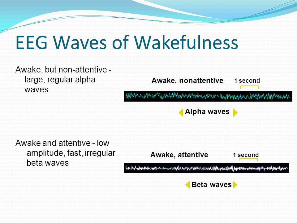 EEG Waves of Wakefulness Awake, but non-attentive - large, regular alpha waves 1 second Alpha waves Awake, nonattentive 1 second Beta waves Awake, attentive Awake and attentive - low amplitude, fast, irregular beta waves
