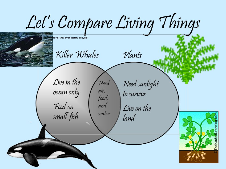 What do Killer Whales Eat.