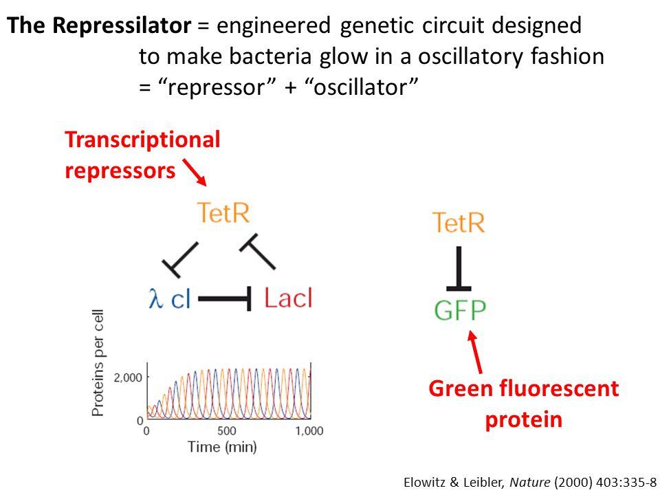 The Repressilator = engineered genetic circuit designed to make bacteria glow in a oscillatory fashion = repressor + oscillator Elowitz & Leibler, Nature (2000) 403:335-8 Green fluorescent protein Transcriptional repressors