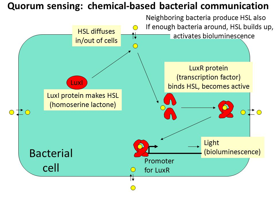 Quorum sensing: chemical-based bacterial communication Light (bioluminescence) LuxI protein makes HSL (homoserine lactone) HSL diffuses in/out of cell
