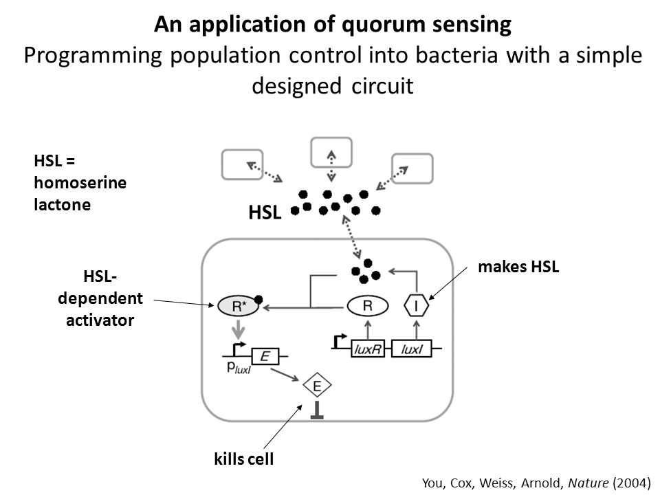 An application of quorum sensing Programming population control into bacteria with a simple designed circuit You, Cox, Weiss, Arnold, Nature (2004) HS