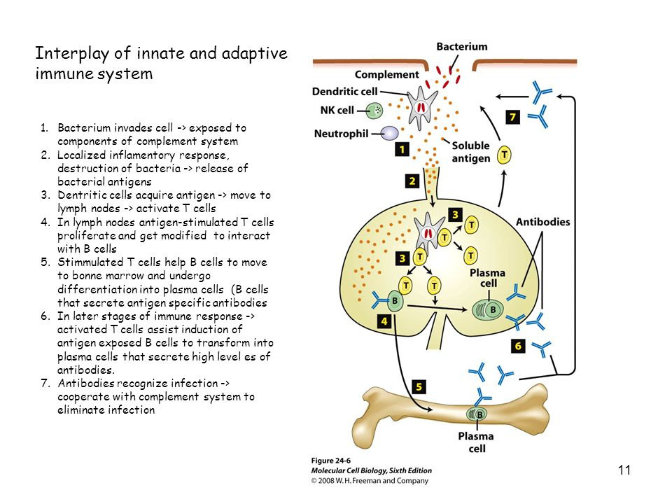 Interplay of innate and adaptive immune system 11 1.Bacterium invades cell -> exposed to components of complement system 2.Localized inflamentory resp