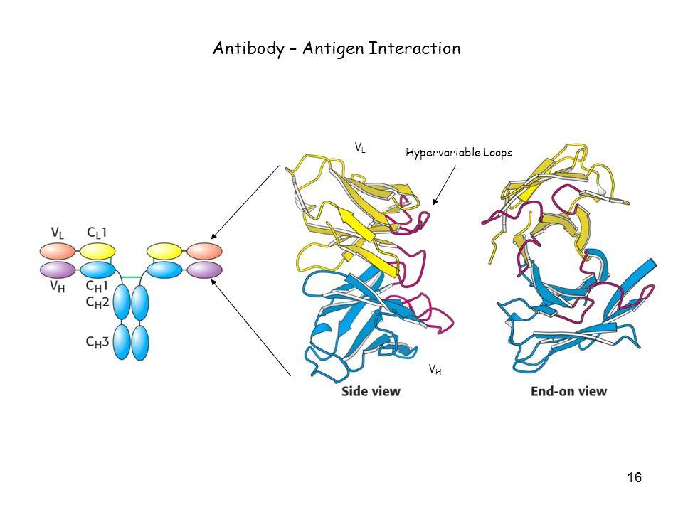 Hypervariable Loops VLVL VHVH Antibody – Antigen Interaction 16