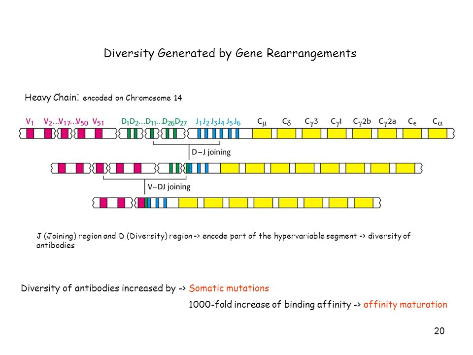 Diversity Generated by Gene Rearrangements Heavy Chain : encoded on Chromosome 14 J (Joining) region and D (Diversity) region -> encode part of the hy
