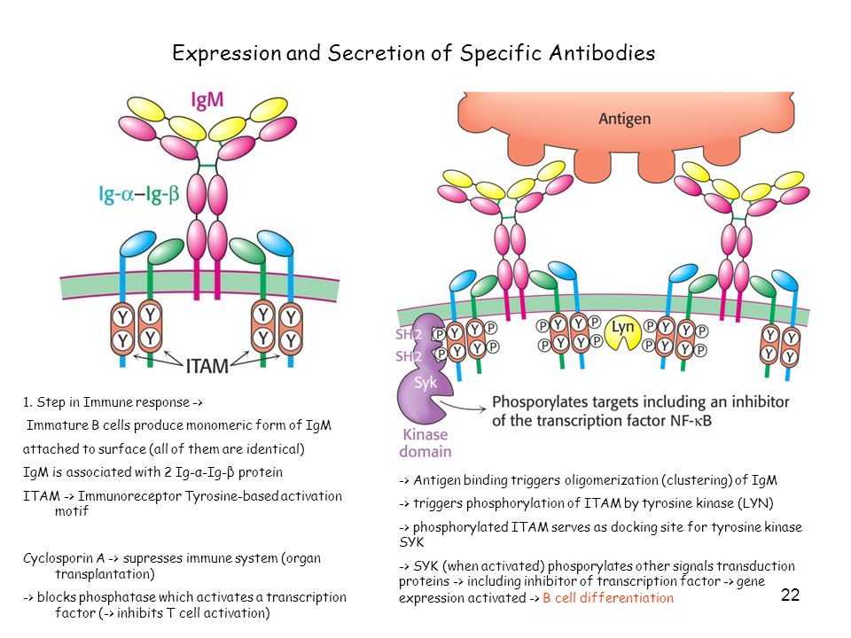 Expression and Secretion of Specific Antibodies 1. Step in Immune response -> Immature B cells produce monomeric form of IgM attached to surface (all