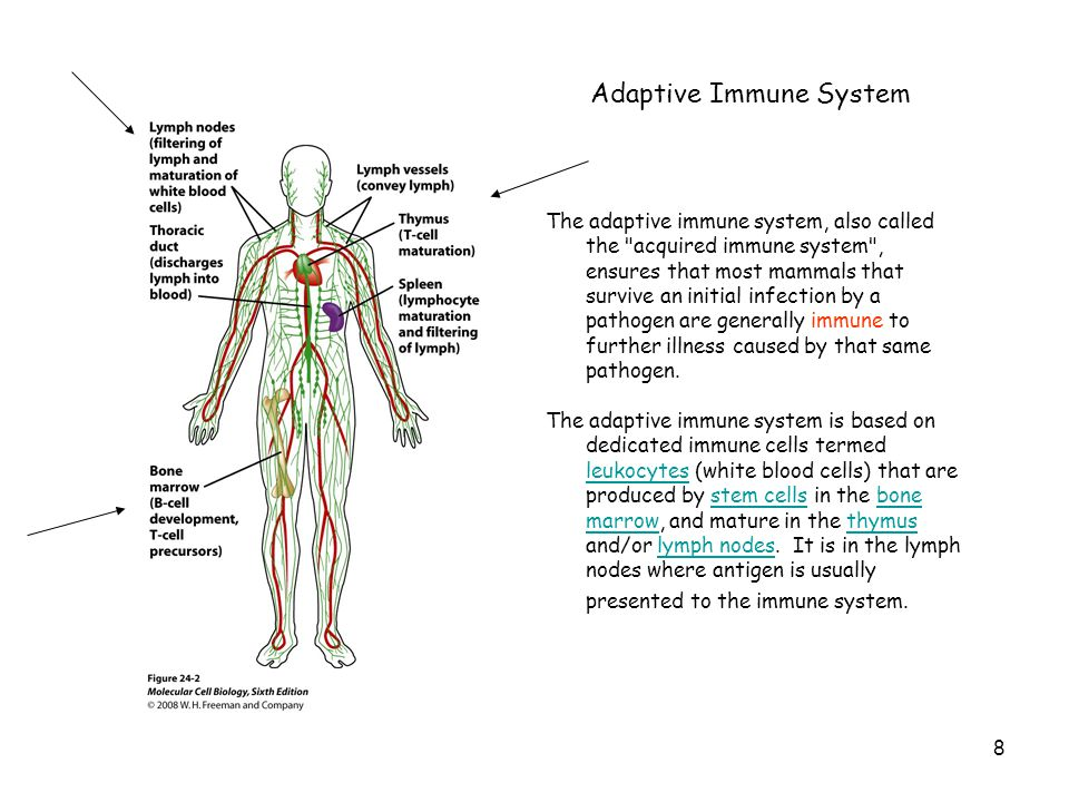 The adaptive immune system, also called the