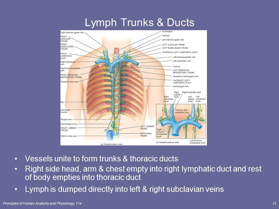 Principles of Human Anatomy and Physiology, 11e12 Lymph Trunks & Ducts Vessels unite to form trunks & thoracic ducts Right side head, arm & chest empt