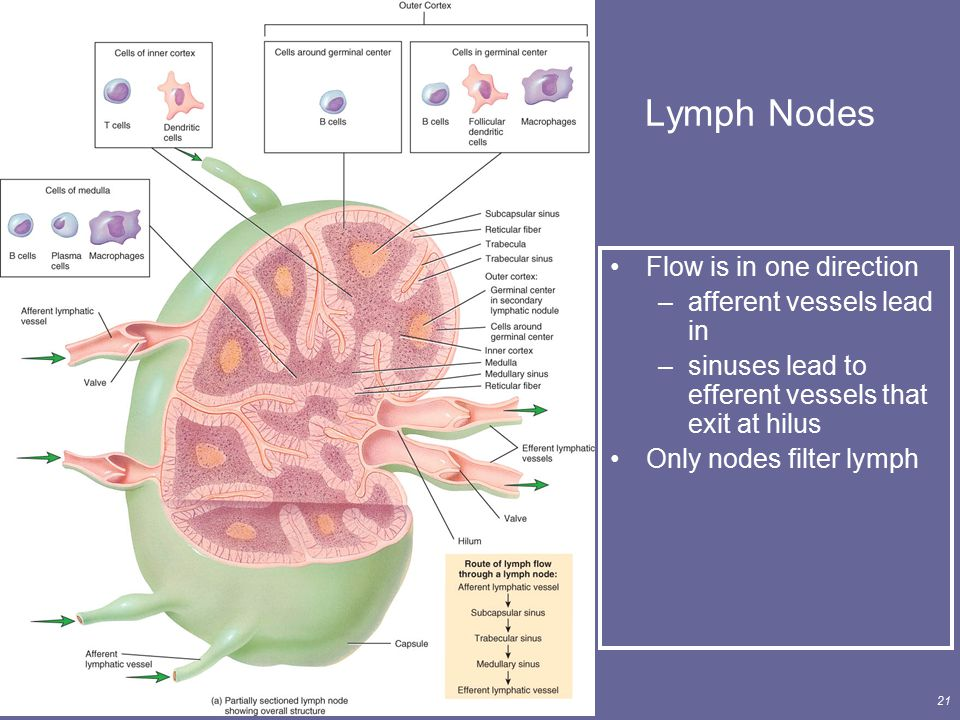 Principles of Human Anatomy and Physiology, 11e21 Lymph Nodes Flow is in one direction –afferent vessels lead in –sinuses lead to efferent vessels tha