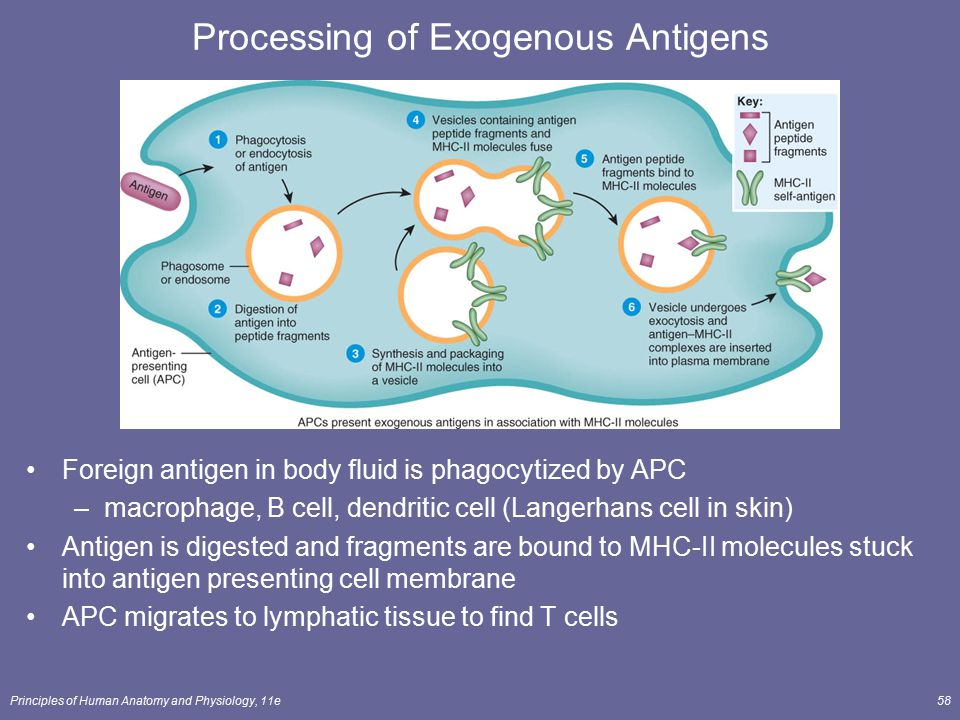 Principles of Human Anatomy and Physiology, 11e58 Processing of Exogenous Antigens Foreign antigen in body fluid is phagocytized by APC –macrophage, B