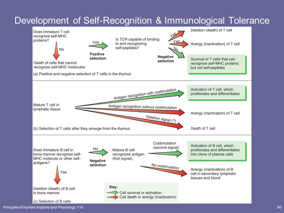 Principles of Human Anatomy and Physiology, 11e90 Development of Self-Recognition & Immunological Tolerance