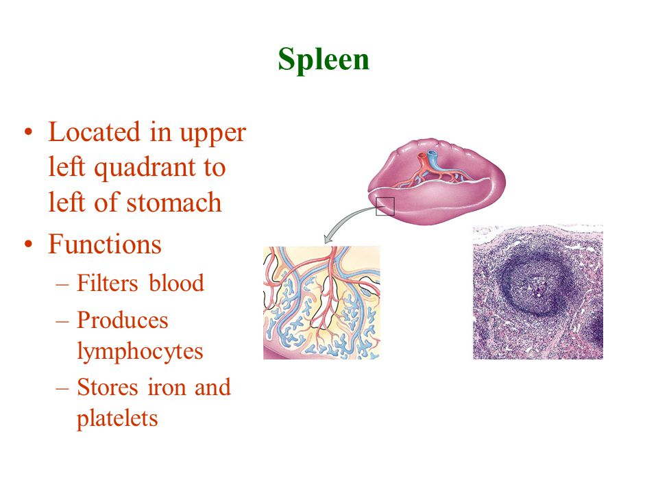 Spleen Located in upper left quadrant to left of stomach Functions –Filters blood –Produces lymphocytes –Stores iron and platelets
