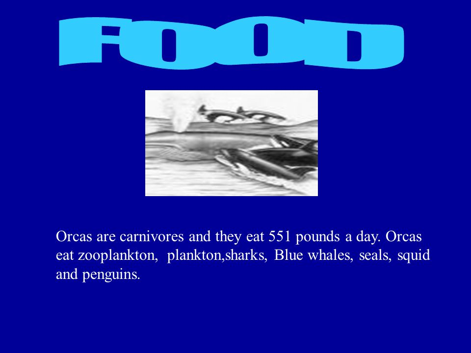 Orcas are carnivores and they eat 551 pounds a day. Orcas eat zooplankton, plankton,sharks, Blue whales, seals, squid and penguins.