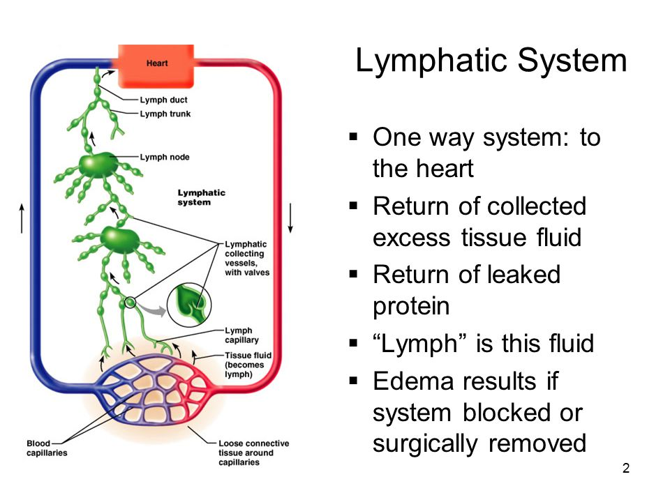 2 Lymphatic System  One way system: to the heart  Return of collected excess tissue fluid  Return of leaked protein  Lymph is this fluid  Edema results if system blocked or surgically removed