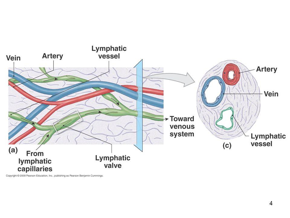 25 Lymphocytes  Naive immunocompetent lymphocytes seed secondary lymphoid organs (esp.