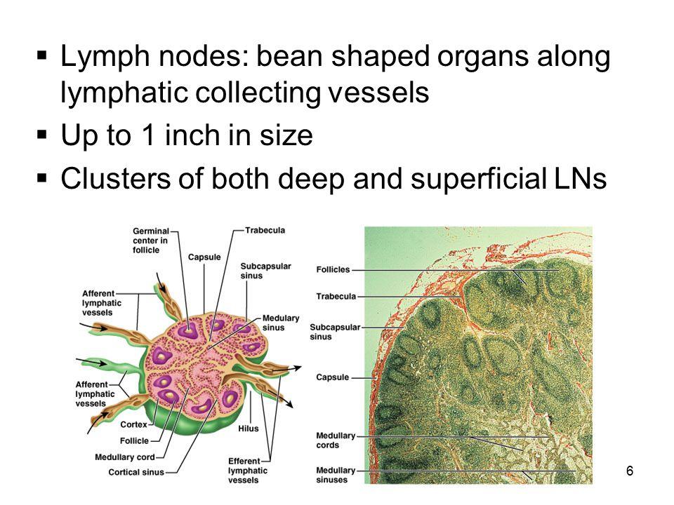 37 Lymphoid Organs  Lymph nodes  Spleen  Thymus  Tonsils  Small intestine & appendix aggregated lymphoid nodules