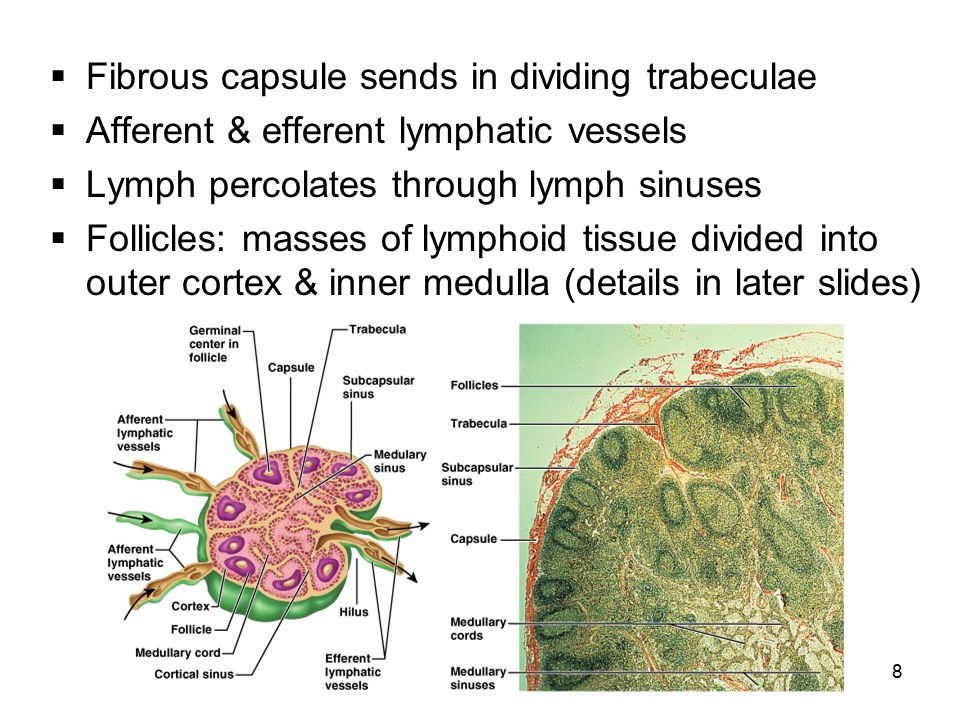 8  Fibrous capsule sends in dividing trabeculae  Afferent & efferent lymphatic vessels  Lymph percolates through lymph sinuses  Follicles: masses of lymphoid tissue divided into outer cortex & inner medulla (details in later slides)