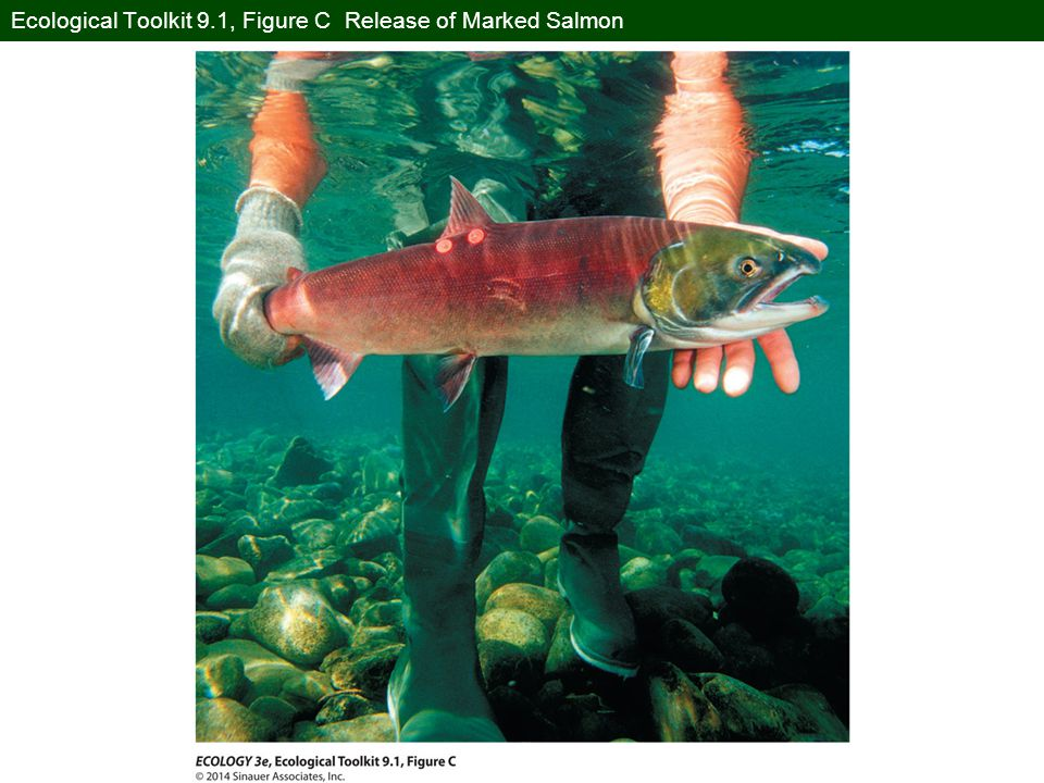 Ecological Toolkit 9.1, Figure C Release of Marked Salmon