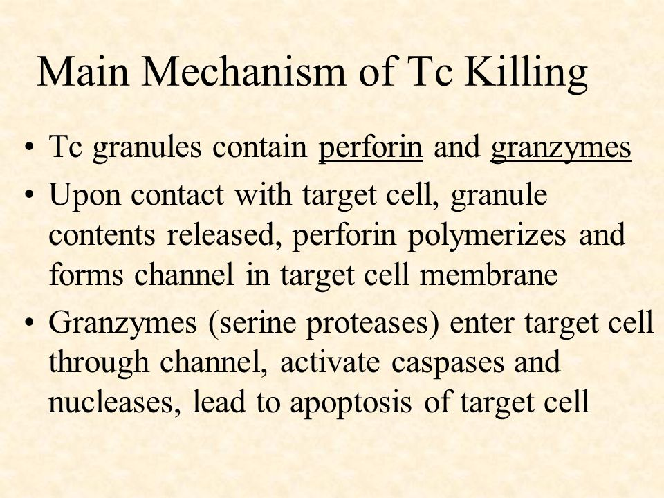 Main Mechanism of Tc Killing Tc granules contain perforin and granzymes Upon contact with target cell, granule contents released, perforin polymerizes and forms channel in target cell membrane Granzymes (serine proteases) enter target cell through channel, activate caspases and nucleases, lead to apoptosis of target cell