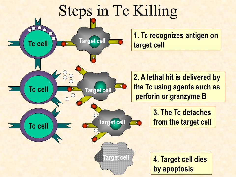 Steps in Tc Killing Tc cell 1. Tc recognizes antigen on target cell Target cell Tc cell 2. A lethal hit is delivered by the Tc using agents such as pe