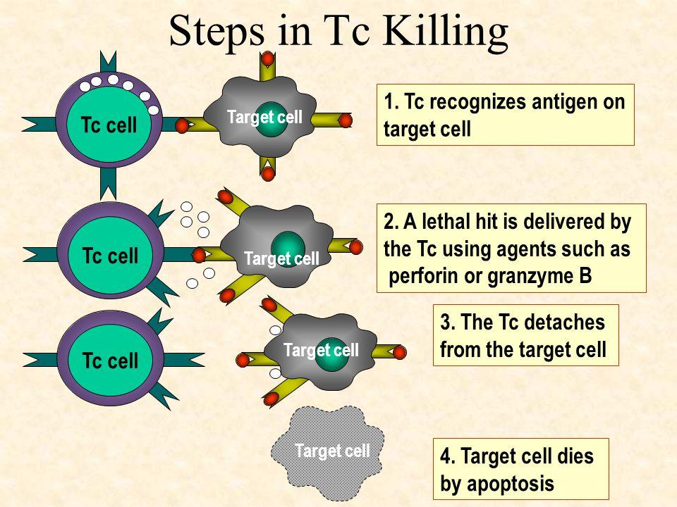 Steps in Tc Killing Tc cell 1. Tc recognizes antigen on target cell Target cell Tc cell 2.