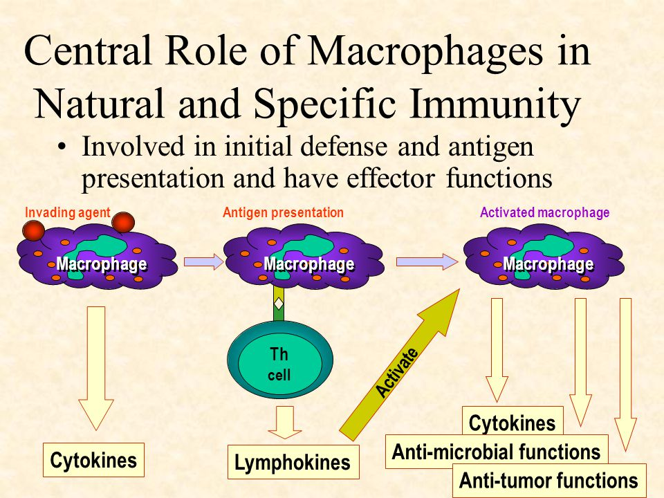Macrophage Th cell Macrophage Cytokines Lymphokines Cytokines Anti-microbial functions Anti-tumor functions Activate Invading agentAntigen presentationActivated macrophage Central Role of Macrophages in Natural and Specific Immunity Involved in initial defense and antigen presentation and have effector functions