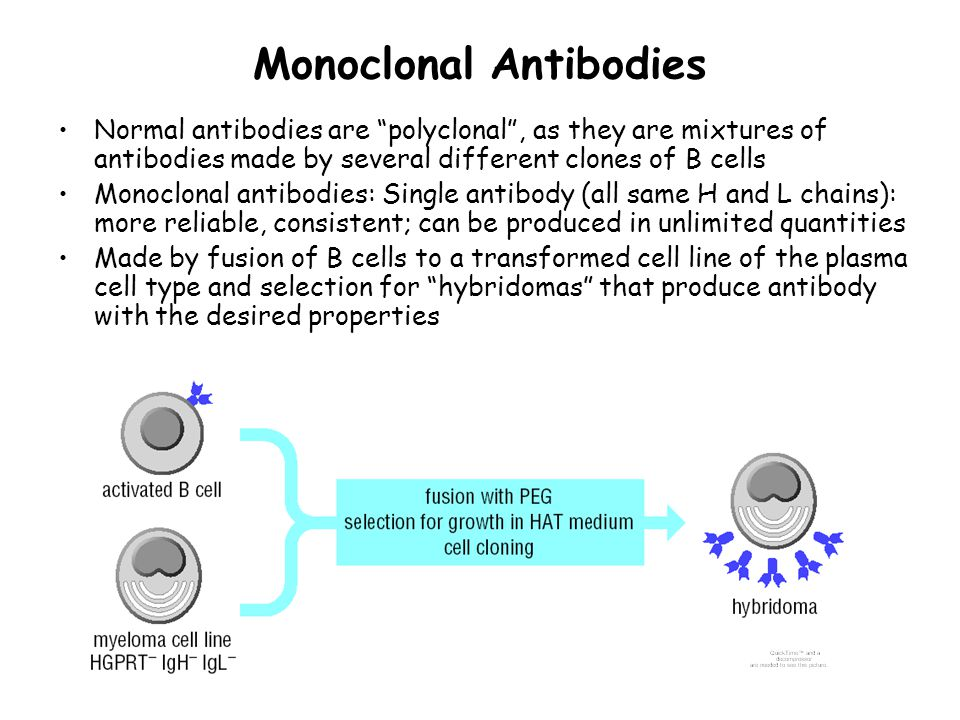 Monoclonal Antibodies Normal antibodies are polyclonal , as they are mixtures of antibodies made by several different clones of B cells Monoclonal antibodies: Single antibody (all same H and L chains): more reliable, consistent; can be produced in unlimited quantities Made by fusion of B cells to a transformed cell line of the plasma cell type and selection for hybridomas that produce antibody with the desired properties