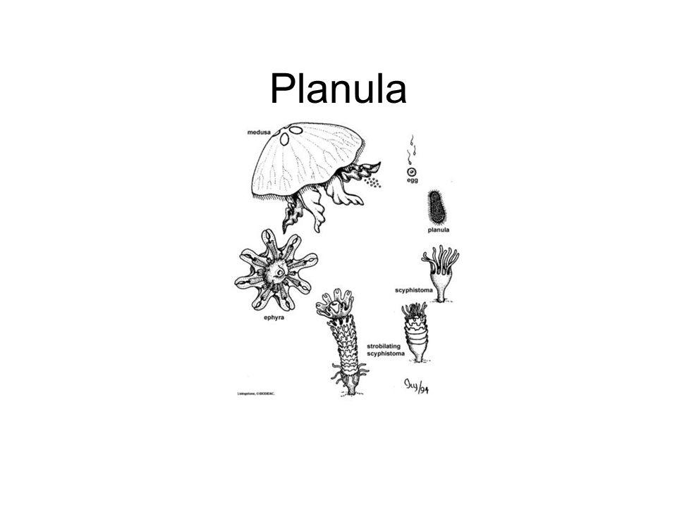 Planula