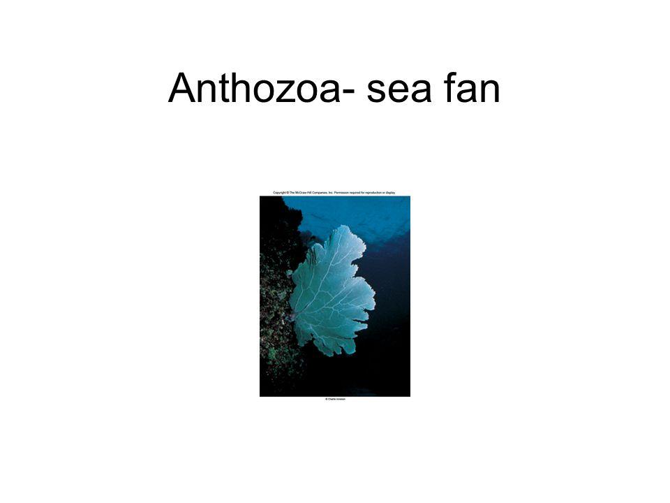 Anthozoa- sea fan