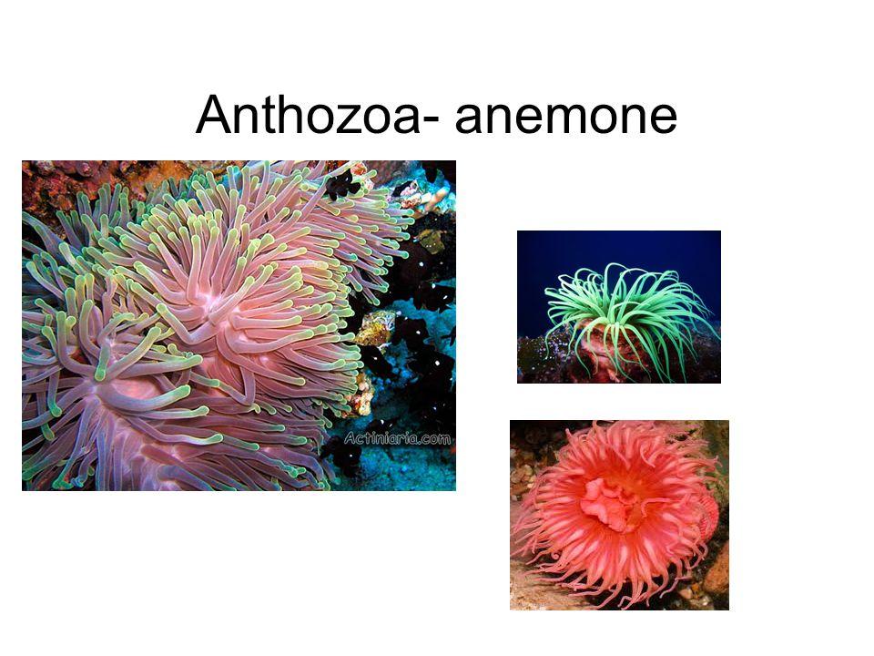 Anthozoa- anemone