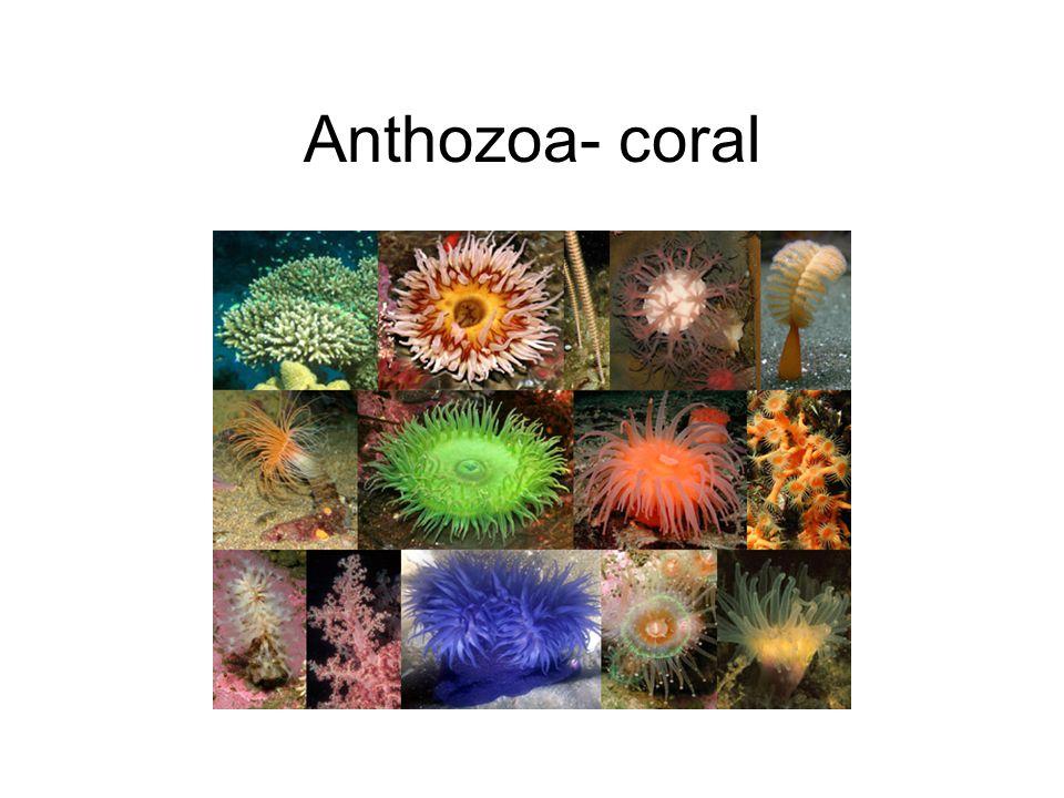 Anthozoa- coral