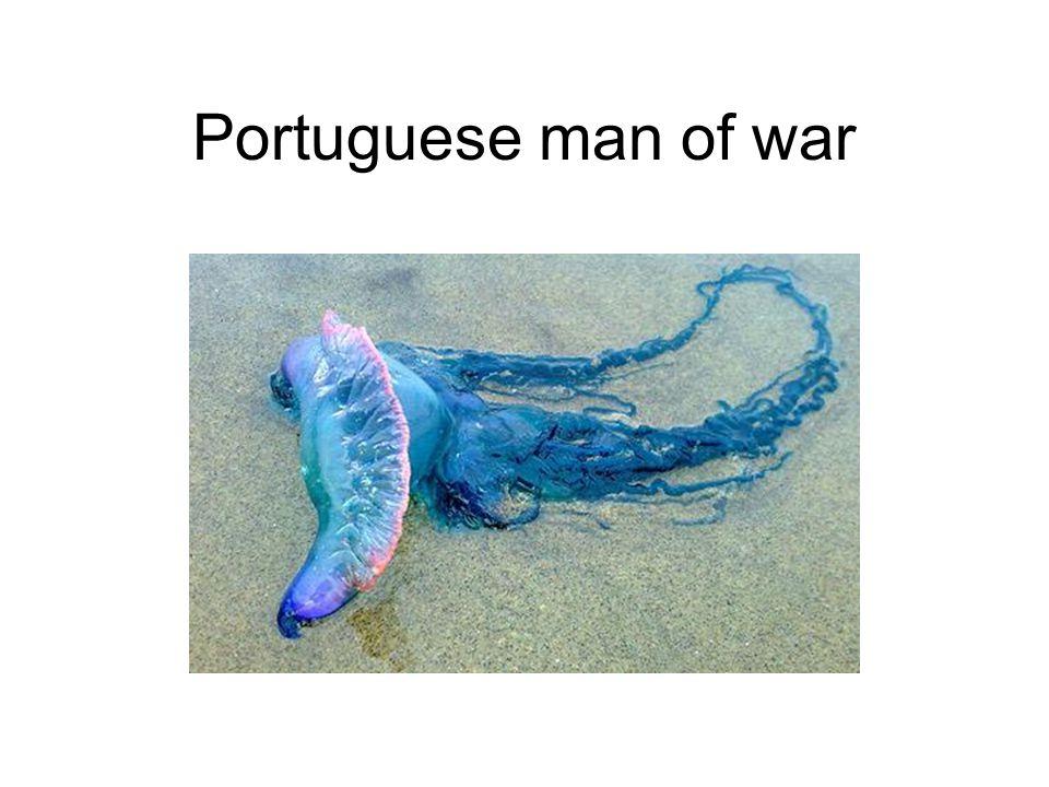 Portuguese man of war
