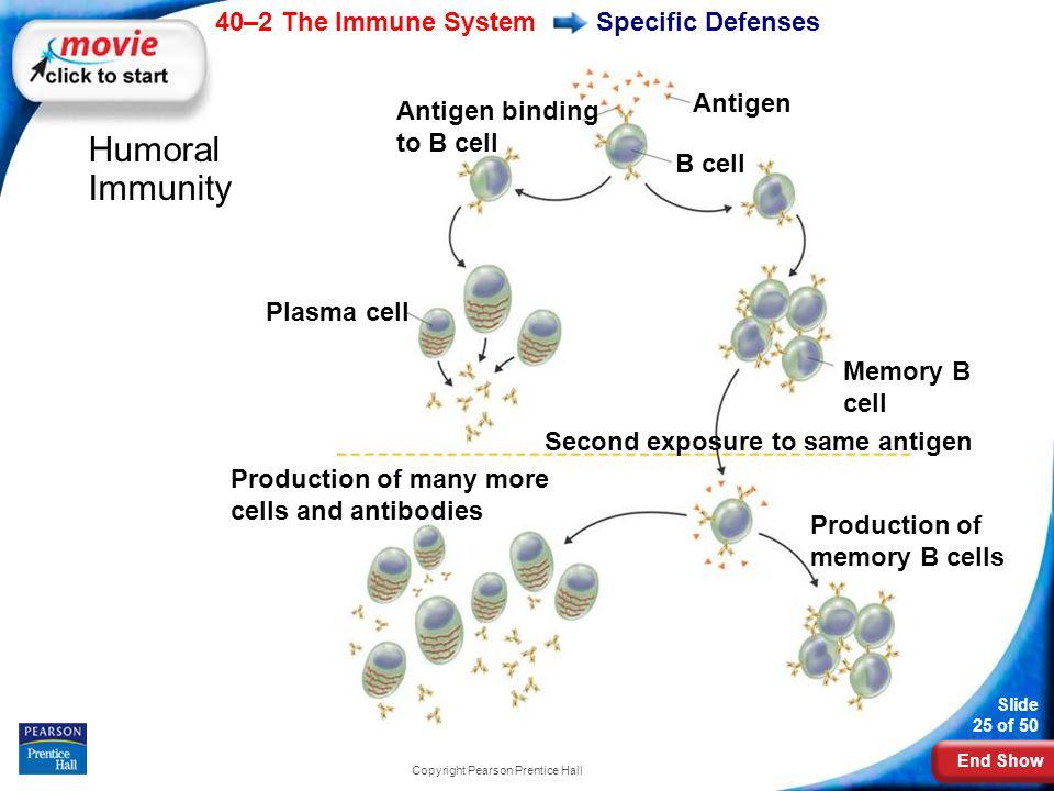 End Show 40–2 The Immune System Slide 25 of 50 Copyright Pearson Prentice Hall Specific Defenses Humoral Immunity Memory B cell Antigen Antigen bindin