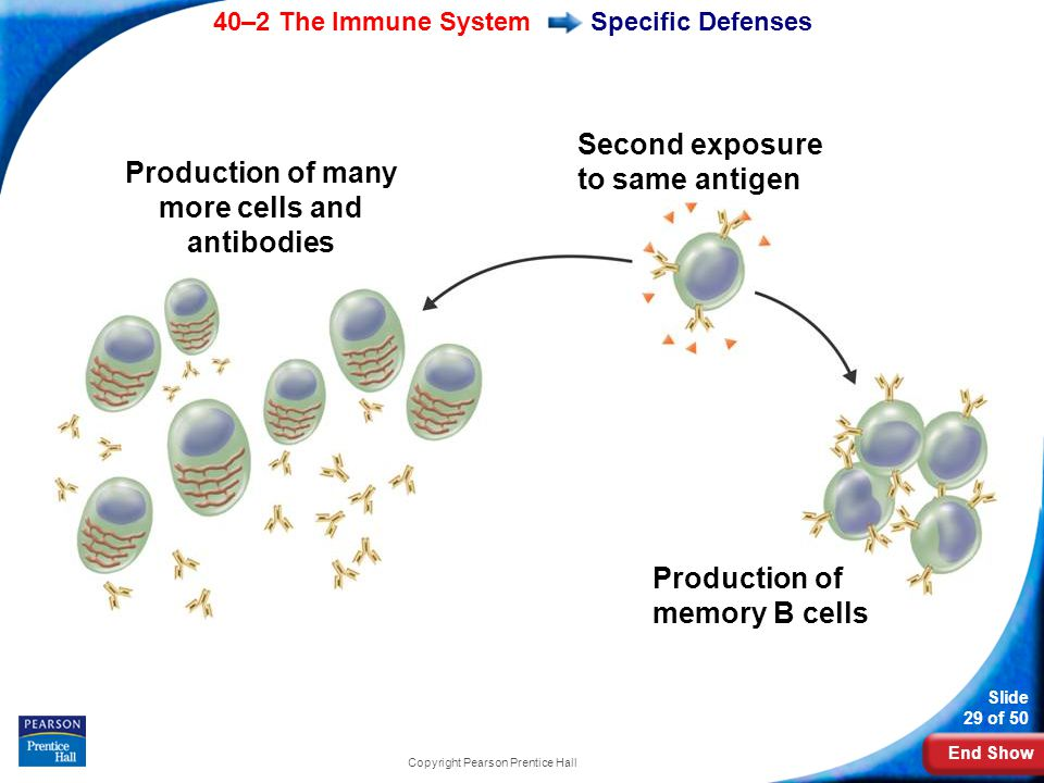 End Show 40–2 The Immune System Slide 29 of 50 Copyright Pearson Prentice Hall Specific Defenses Production of many more cells and antibodies Second e