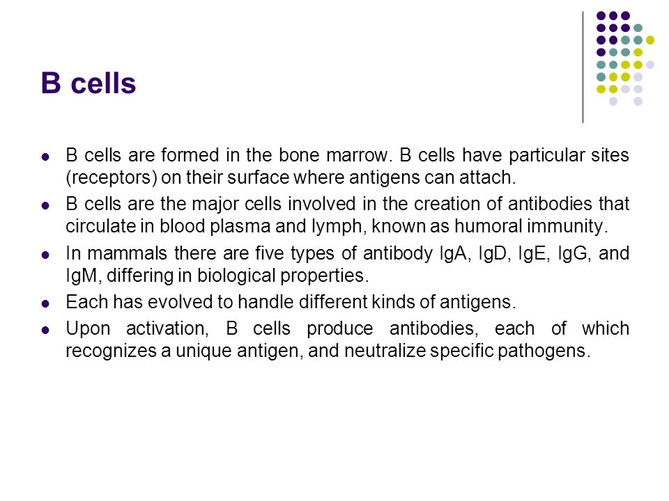 B cells B cells are formed in the bone marrow. B cells have particular sites (receptors) on their surface where antigens can attach. B cells are the m